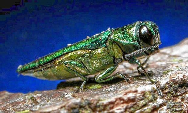adult emerald ash borer, file photo by the Minnesota Department of Natural Resources