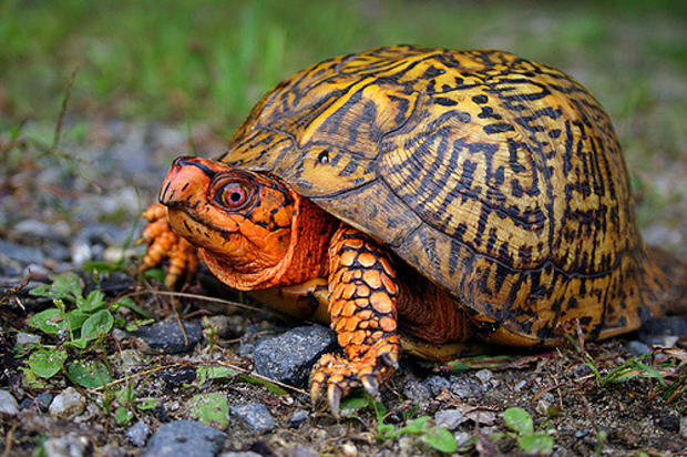 Eastern Box Turtle. Photo by Mike Jones, MassWildlife