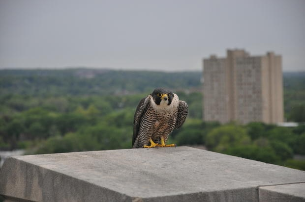 Peregrine Falcon sitting on the edge of a building in Massachusetts.