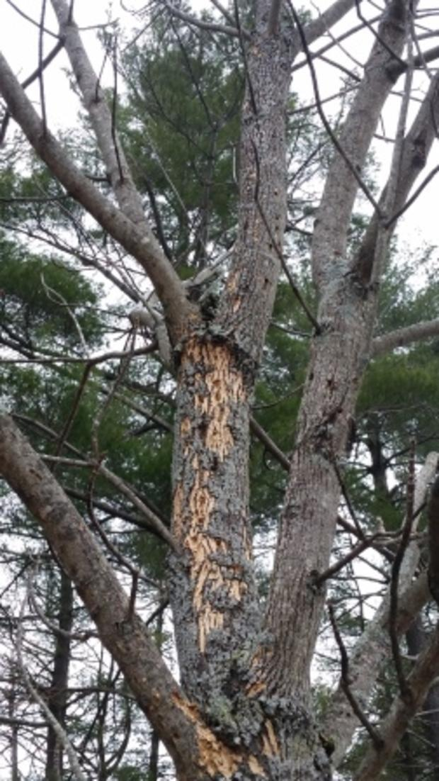 Recent EAB Ash damage in New England