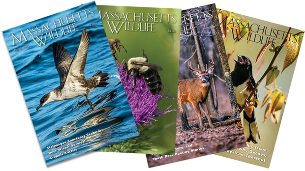 Massachusetts Wildlife Magazine covers