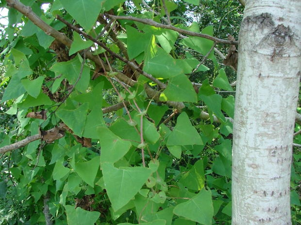 Mile-a-minute vine or weed, invasive.