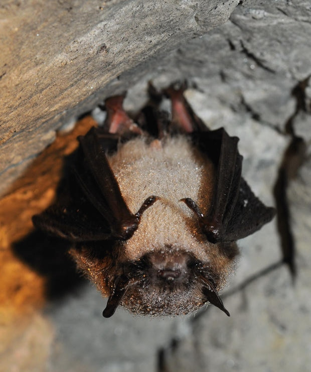 A Little Brown Bat (Endangered) in a cave.