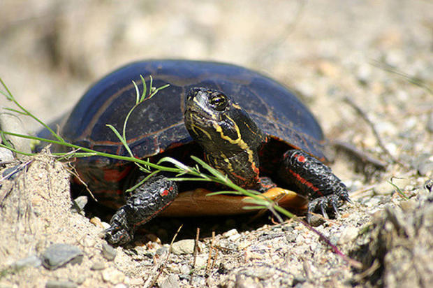 Eastern Painted Turtle. Photo by Mike Jones, MassWildlife