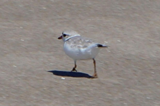 A Piping Plover scurrying across the beach.