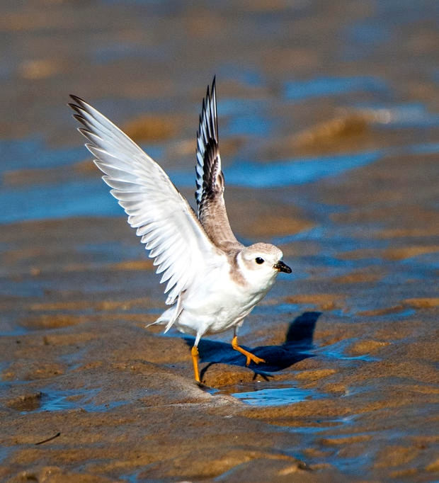 Piping Plover, Threatened.