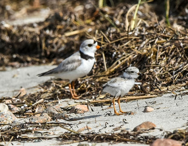 Adult Piping Plover with chick.