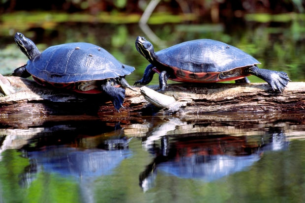 Red-bellied Cooters basking.
