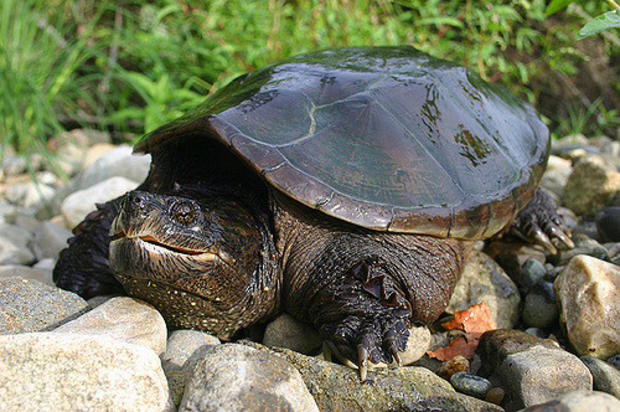 Snapping Turtle. Photo by Mike Jones, MassWildlife