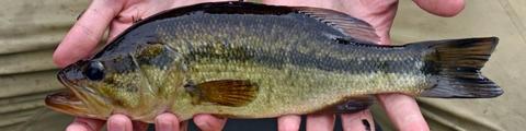 Freshwater fishing regulations for Massachusetts freshwater fishing license